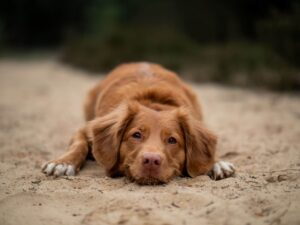 Signs of heat exhaustion in dogs